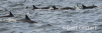 Dolphin super pod