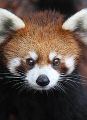 Red Panda Closeup (Mark Dumont) Tags: red animals zoo panda mark cincinnati mammals dumont