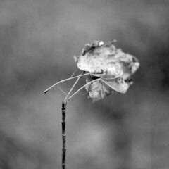 support. (brian hefele) Tags: plant leaf stem pentax hp5 ilford pentaxmx twigly