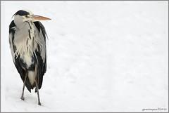 21jan13: pffff....wat een k*tweer..... (guus timpers) Tags: park winter sneeuw reiger rillen kutweer rogmanspark kouf rilweer
