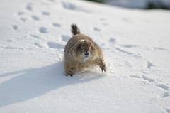 prairie dog (MBoom) Tags: winter snow rotterdam blijdorp prairydog prairiehond