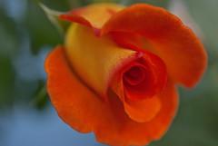 From me(^_-)- (Niagara Moon) Tags: red rose japan tokyo  2012 masterphotos