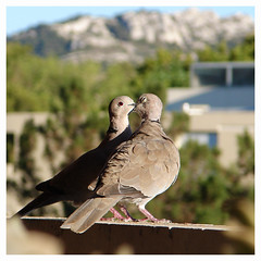 Love is in the air ! (Maxofmars) Tags: france francia frankreich frankrijk ville city ciudad citta stadt tourterelle