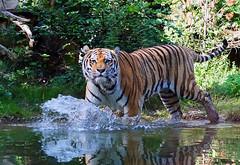 Tiger (ingrid eulenfan) Tags: leipzig zoo tiger raubkatze animal baden schwimmen wasser