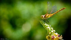 Dragonfly (buletti.pictures) Tags: dragonfly libelle insekten insekt insect libellen macro makro makrofotografie macrophotography natur tiere animal buletti pictures hintergrundbild hintergrund wallpaper naturpark schweiz switzerland