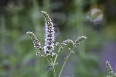 Spearmint Flower I (Jay  Den (Jayarr Denson)) Tags: nikond7100 100mmf28tokina flowers flower floral florals spearmint floralfriday macrounlimited macro art
