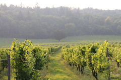 Vines & Grapes at Denbies Vineyard, Dorking (timothyhart) Tags: denbieswineestate vineyard dorking surrey surreyhills england vine grapes wine red white surreygold