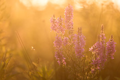 golden hour (Marc McDermott) Tags: bee nature plant golden hour natural growrh wild outdoors ef70200mm f28l is ii usm 5d mark iii