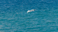Brown-headed Gull fishing on Pangong Lake (faram.k) Tags: bif bird brownheadedgull gull ladakh lake pangong