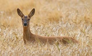 Roe Deer (explored)