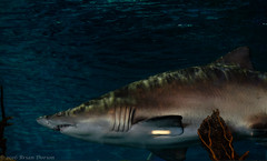 BAD-20160820-Ripleys_Aquarium-0227 (briandorion) Tags: carchariastaurus ripleysaquarium toronto bluenursesandtigershark greynurseshark sandtigershark shark spottedraggedtoothshark