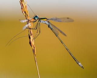 Emerald Damselfly and Cranefly