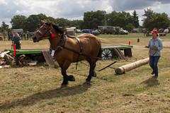 Wettkampf im Holzrcken in Flechtingen (Helmut44) Tags: deutschland germany sachsenanhalt flechtingen meisterschaften pferd wettkampf holzrcken einspnner horse match baumstamm