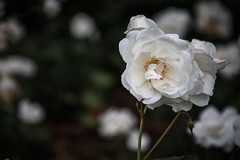 White Rose... (Francizc Chachula) Tags: nikon d7200 18105mm rose white bokeh nature natural timisora june 2016 focus sharp