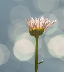 Waking up. (Omygodtom) Tags: sparkle flower flickr pink bokeh bouquet daisy outdoors river natural nikon dof d7100 nikon70300mmvrlens nature star stem