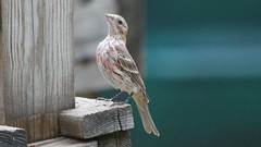 House or Purple? (blazer8696) Tags: brookfield connecticut obtusehill usa unitedstates 2016 ct ecw finch haemorhous img1147 passeriformes t2016