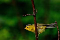 Wilson's warbler nestling (Simon Valdez-Juarez) Tags: wilsons warbler cardellina pusilla fledgling burnaby bc canada juvenile