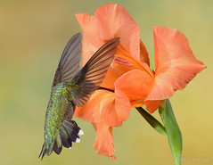 Transparency (2016-08-10 1461) (bechtelsf) Tags: nikon d810 nikon80400mm ohio hummingbird bird animal windlife wildlife nature wing transparent orange inflight flying feeding