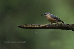 Nuthatch (kfjmiller) Tags: 150600mm 2016 aberfoyle animal august birds forest nature nikon nikond610 nuthatch outdoors queenelizabethforest tamron thelodge trees wildlife wood