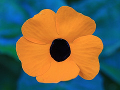 Yellow Flower Macro (hbickel) Tags: yellow flower macro macrolens photoaday pad canont6i canon