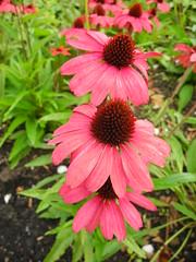 In de rij (~~Nelly~~) Tags: mechelen vrijbroekpark bloemen fleurs echinacea