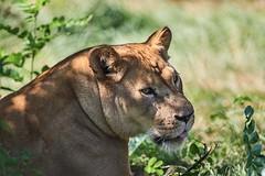 je donne ma langue au chat (rondoudou87) Tags: lion lionne parc reynou zoo wild wildlife nature pentax k1 sauvage animal portrait