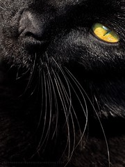 Tengo Mis Ojo En Ti ! / I Have My Eye On You ! (Konny D.) Tags: blackcat cateye cat katze gatto gato