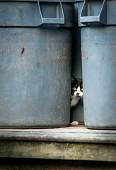 Behind the Barrels (Isaac Hilman) Tags: cat garbage hungry shy lonely peeking outdoors alley nikon d800 70200mmf28 canada princerupert bc britishcolumbia