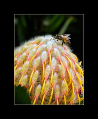 The Bee and the Waratah (B.M.K. Photography) Tags: bee insect waratah flower macro yellowwaratah spring wings native perth kingspark flora