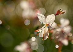 Flower in the Dew (mclcbooks) Tags: flower flowers floral macro closeup dew drops water bokeh denverbotanicgardens colorado