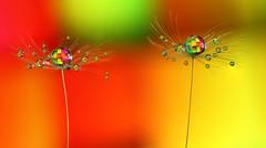 Thank you !! (Lorraine1234) Tags: drops dandelion macro colors refraction