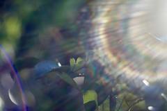 Sunbathing leaves (fxdx) Tags: sunbathing leaves m42 manual flare bokeh sunflare sunrays helios 442