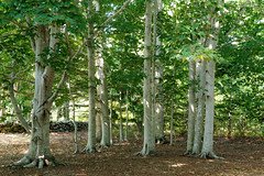 Beech (Fagus grandifolia) (tgpotterfield) Tags: marthasvineyard massachusetts westtisbury fagusgrandifolia fagus fagaceae americanbeech usa