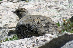 White-Tailed Ptarmigan (Patricia Henschen) Tags: whitetailedptarmigan ptarmigan bird alpine mountains park mtevansscenicbyway mtevans scenicbyway idahosprings colorado tundra