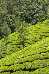 319A1701 Tea plantations of the Western Ghats, Kerala (Priscilla van Andel (Uploading database)) Tags: teaplantations westernghats kerala munnar deforestation