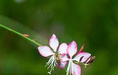 Gaura lindheimeri 'Rosyjane' & Honey Bee (Orbmiser) Tags: 55200vr d90 fall nikon oregon portland rosyjane flowers dangling insect honeybee