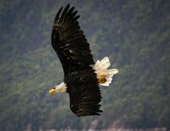 Bald Eagle (mab090) Tags: alaska bald nikon200500mm flight translucent nikon bird birdsofprey wings flying raptor eagle wilderness landscape