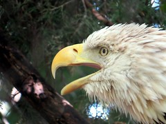 All of a sudden the bald eagle became very loud. (kennethkonica) Tags: nature bird canonpowershot summer july global random hoosiers marioncounty midwest america usa indiana indianapolis indy colors animaleyes animal outdoor indianapoliszoo americanbaldeagle beak eyes zoo bestshotoftheday white