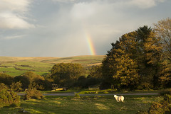 light at Zor, Dartmoor (rupert stockwin) Tags: sheep devon dartmoor zor horndon stockwin