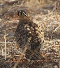 Black-faced Sandgrouse: Male (Jacqui Herrington:) Tags: africa male bird kenya safari blackfacedsandgrouse pteroclesdecoratus