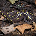 "Spotted Salamander (Ambystoma maculatum) • <a style=""font-size:0.8em;"" href=""http://www.flickr.com/photos/39798370@N00/8095095637/"" target=""_blank"">View on Flickr</a>"