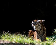 264/365: Enjoying a Sunbeam. (Gregory Pleau) Tags: sun museum cat relax zoo smithsonian dc washington feline tiger whisker hunter sumatrantiger sunbeam sumatran flickrchallengegroup flickrchallengewinner