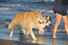 DSC_5520 (komissarov_a) Tags: ocean life friends dog pets love water animals loving training newfoundland fun sand nikon play friendship samoyed shepherd mastiff streetphotography rottweiler terrier management together siberianhusky precious boxer streetphoto dane mansbestfriend germanshepherd rgb relationships protection saintbernard investment partnership defenders standardschnauzer pyrenees alike noble kuvasz bullmastiff  lovedones nickname owners d300 dogsowners breeds dobermanpinscher  komondor germanpinscher doguedebordeaux  canon60d          komissarova    66giantschnauzer
