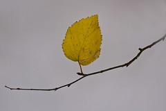a single leaf of woodwalton fen (bob:davis) Tags: autumn white yellow insect leaf background bob single twig eggs davis minimalist