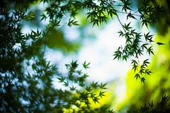 Days of Longing (moaan) Tags: life leica autumn green fall sign digital forest 50mm october dof bokeh f10 momiji japanesemaple utata osaka noctilux mino 2012 m9 inlife leicanoctilux50mmf10 leicam9 minoquasinationalpark