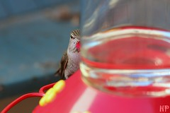 Anna's Hummingbird 102512-4 (luluhachidori) Tags: california pink orange bird canon eos hummingbird purple allens southern 7d annas costas   allofnatureswildlifelevel1 allofnatureswildlifelevel2