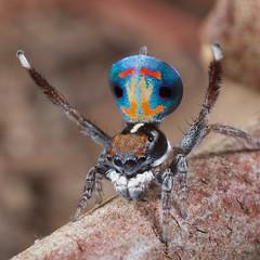 _X8A6530 Peacock spider Maratus amabilis (Jurgen Otto) Tags: