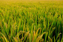 Rice paddy,Changshu Jiangsu China (Eason Q) Tags: china autumn green nature horizontal closeup outdoors photography day rice tranquility nopeople growth crop change agriculture ricepaddy selectivefocus colorimage