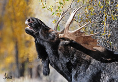 Bull Moose Sniffing for Pheromones  - 1732b+sg (teagden) Tags: autumn fall photography head wildlife air profile moose bull antlers rack sniff sniffing 2012 response lifting bullmoose pheromones wildlifephotography flehmen specanimal jenniferhall highqualityanimals flehmenresonse