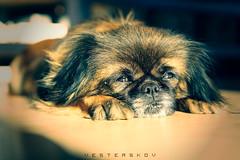 Mulle - the tiny.... tiny dog. (vesterskov) Tags: dog sun cute sunshine animal eyes purple little sony yawn 28 cuteness alpha f28 dt slt ssm a77 mulle 1650 vesterskov slta77 slta77vq a77vq 281650